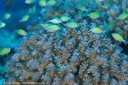 BD-100921-Fury-Shoal-1909-Chromis-viridis-(Cuvier.-1830)-[Blue-green-damselfish].jpg